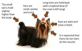 yorkie hair cut chart yorkshire terrier appearance what does a yorkie look like