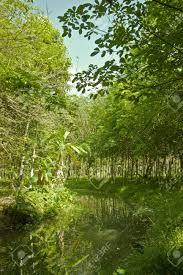 albero giardino para albero della gomma da giardino foto royalty free immagini
