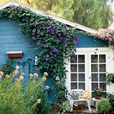 how to use morning glory vines sunset