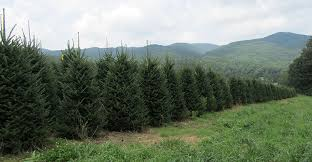 high country fraser fir christmas trees wholesale trees