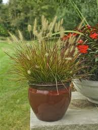 89 best plants to grow images on ornamental grasses