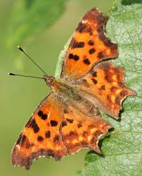 butterfly wiktionary