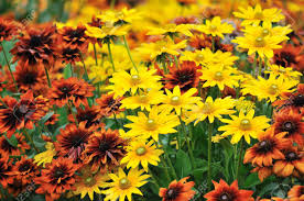 Fall Flowers Fall Color Rudbeckia Flowers In Autumn Garden Stock Photo
