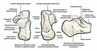Calcaneus Anatomy Tarsal Bones Earth U0027s Lab