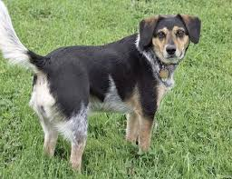 beagle x australian shepherd sadie the mixed breed dogs daily puppy