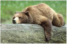 Animal Planet Documentary Grizzly Bears Full Documentaries - animal planet documentary grizzly bears full documentaries