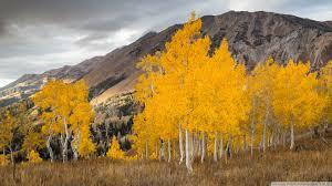 aspen trees in the fall 4k hd desktop wallpaper for 4k ultra hd
