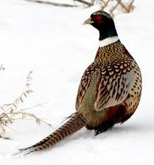 state bird of south dakota south dakota state pictures pics images and photos for inspiration
