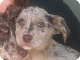australian shepherd lab puppy jessa adopted puppy carrollton ga australian shepherd