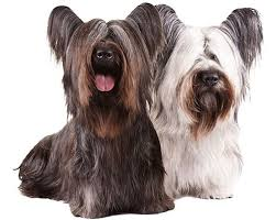 bearded collie mdr1 common heartworm medication ivermectin can have serious side