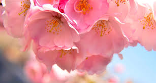 2017 bloomfest at newark u0027s cherry blossom festival