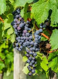 chambourcin bunch grape vine ison u0027s nursery u0026 vineyard