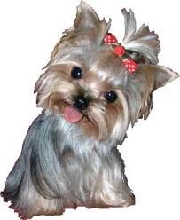 hair accessories for yorkie poos 82 best yorkie poo love images on pinterest cakes cat
