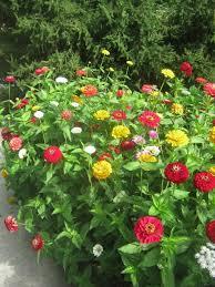 zinnia flowers 116 best zinnias images on zinnias annual flowers and
