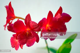 Red Orchids Red Orchids Stock Photo Getty Images