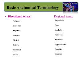 Human Anatomy Terminology Organization Of The Human Body Ppt Video Online Download