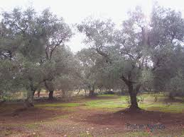 sale land plots with centuries old olive groves carovigno land