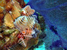 christmas tree worm spirobranchus giganteus ocean life