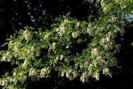 Fragrant Flowers Robinia Pseudoacacia Creamy White Fragrant Flowers Clusters Tree