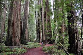 California forest images Exploring the northern california redwood forests kcet jpg