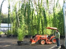 Bamboo Garden Design Ideas Bamboo Garden Nursery