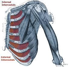 Innervation Of Infraspinatus Teres Minor Muscle Anatomy Origin Insertion Action