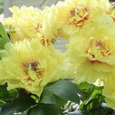 yellow peonies paeonia bartzella itoh peony