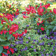 annual plant pairings summer waves red dragon backdrops