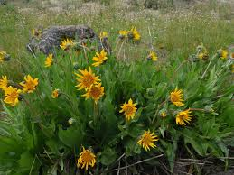 native oregon plants wildflowers u0026 native plants ashland garden club page 2