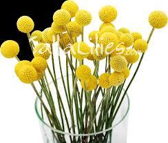 billy balls craspedia billy balls yellow drumsticks greenery fillers