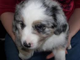 australian shepherd indiana aussie puppies for sale