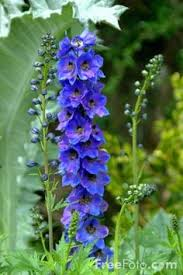 delphinium flowers i ve had delphinium before but they weren t this i will try