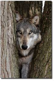 living with wolves germany s werner freund howling for justice