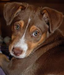 australian shepherd lab mix puppy chocolate lab australian shepherd mix that face is so sweet