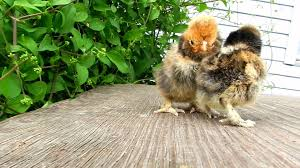 small chicken small chicks of different breeds of chickens цыплята youtube