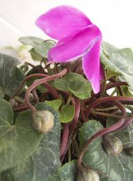 seed collection of australian native plants collecting seed pods from cyclamen and other flowering plants