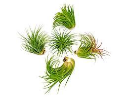 plants low light amazon com 6 lowlight air plant pack live low light plants indoor