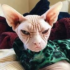 Hairless Cat Meme - jinx sphynx sphynx cat and cat