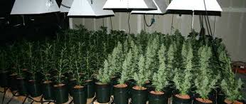 growing autoflower with led lights autoflower cannabis how to grow and grow guide