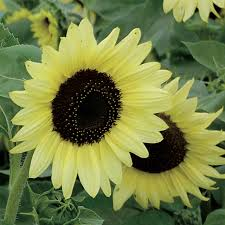 types of red colors unusual sunflower color varieties hgtv