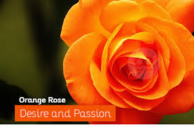 orange roses day different types of roses and their meaning kachcha chittha