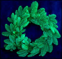 spruce wreaths wholesale fresh blue and green spruce