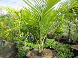 cebu palm trees for sale kinds of ornamental plants