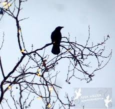 crows in lighted tree in early morning light in vancouver downtown