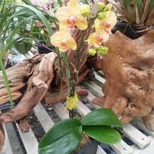 Orchid Delivery Encinitas Florist Flower Delivery By Divine Orchids
