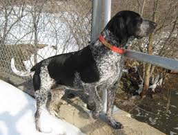 bluetick coonhound exercise bluetick coonhound dogexpress