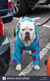 london uk 30 october 2016 bentley the bulldog cross in a