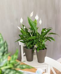 peace lily peace lily bakker com