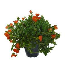 dalia in vaso portulaca vaso 14 floricoltura magnani di magnani gianpaolo