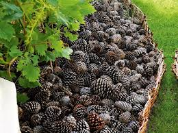 pine cones as mulch keep slugs snails cats and dogs out of the